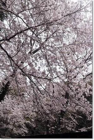 圧倒的桜。2017 - そよ風になって~