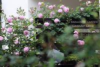 表と裏 - バラと遊ぶ庭