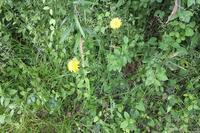■ 外来帰化植物 3種   17.5.17   (ブタナ、ニワゼキショウ、アメリカフウロ) - 舞岡公園の自然2