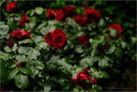 深紅の薔薇 - りゅう太のあしあと