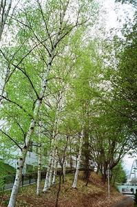 Agfa Optima で撮った白樺の緑と川柳の緑 - 照片画廊