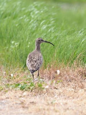 畦道のチュウシャクシギ - コーヒー党の野鳥と自然 パート2