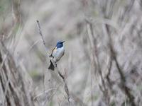 高いお山では・・・ルリビタキ。 - 鳥見んGOO!(とりみんぐー!)野鳥との出逢い