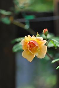 5/20 去る鳥 初夏の声 - 「あなたに似た花。」