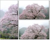 圧倒的桜 2017 - 長い木の橋