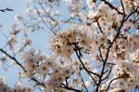 桜 - アワジシマイッシュウ(某島民)
