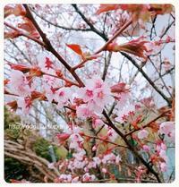 【雑記】エゾヤマザクラの花と葉 【仏】例文【英5トレ言葉】目標… - 【まんが&フォト】 ほかの国のコトバ ― 8言語つまみぐい