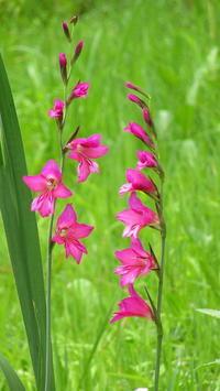 Gladiolus communis 16-5-2017 - K'aua