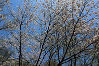 仕舞いの桜 - memory