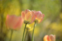 Tulips - Imagine