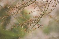 ―  霧桜  ― - kotonoha