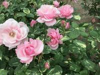 花フェスタ記念公園へ ⑴ - 「にゃん」の針しごと