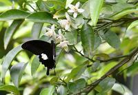 ミカンの花に黒系アゲハ - 旅のかほり