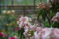 見頃を迎えた小さなローズガーデンの薔薇 - 季節の風を追いかけて
