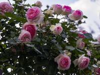 三軒隣の家の庭の薔薇 - 一人の読者との対話