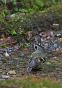 キクイタダキ - 今日も鳥撮り