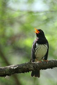 クロツグミ - 比企丘陵の自然
