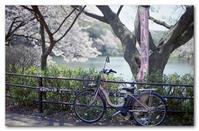 #2184 桜の頃 - at the port