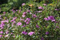 幸福はスパイス - A primrose by the river's brim