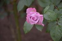 バラそして薔薇♪ - 今日もカメラを手に・・・♪