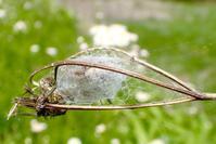 ナカムラオニグモ(中村鬼蜘蛛) - 世話要らずの庭