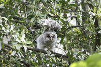 2017 フクロウ その3 雛のエンジェルポーズ - 私の鳥撮り散歩
