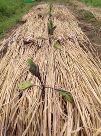 なすび定植とジャガイモの芽かきと土寄せ - にじまる食堂 & にじまる農園