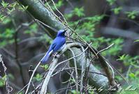 綺麗な「オオルリ」さんと「ミソサザイ」さんと「ヤブサメ」さん♪ - ケンケン&ミントの鳥撮りLifeⅡ
