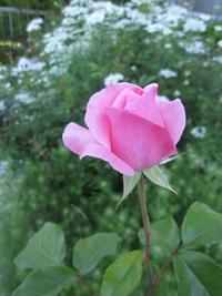 ヨガポーズ時には薔薇の咲くように - 花の自由旋律