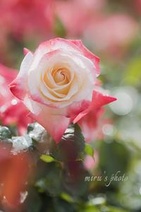 紫陽花と薔薇☆はままつフラワーパーク - MIRU'S PHOTO