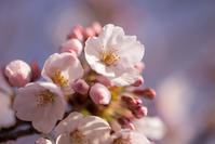 new start 圧倒的桜。2017 「春を謳歌する朝」 - Full of LIFE