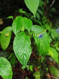 リンコグロッサム・オブリキューム (Bali 2017 #36) - Blog: Living Tropically