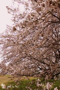#101 new start 圧倒的桜。2017 - *ruu* no uta