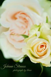 美しいバラ - for  someone
