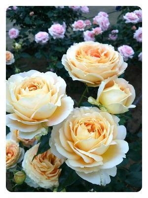 バラ苑 - *す*的な日々