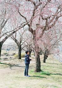 河原の桜-3- - ayumilife with kate