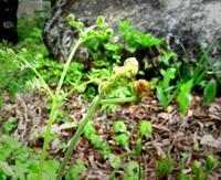 庭のワラビの味は格別 - ピースケさんのお留守ばん