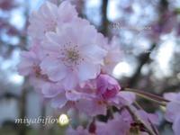 黄昏時のあなたは・・・ **圧倒的桜。2017** - 風と花を紡いで