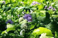 シラネアオイとサンカヨウの花びら - ノラニンジンの咲く庭