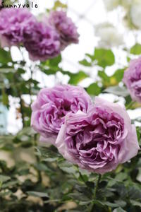 第19回国際バラとガーデニングショウ - さにべるスタッフblog     -Sunny Day's Garden-