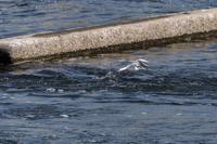 水面のコアジサシ - あだっちゃんの花鳥風月