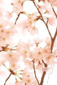 圧倒的桜。2017 ~サクラ咲く 今一度~ - cache-cache