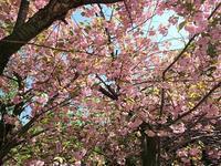 北海道庁の桜が満開!! - (株)ビアン ブログ