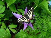 春の使者 ・ ヒメギフチョウとカタクリ - 野に咲く北国の花