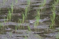 ■ 田んぼで餌探し   17.5.18   (カワセミ、コチドリ) - 舞岡公園の自然2