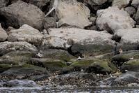 ★葛西海浜公園の鳥類情報(5月18日) - 葛西臨海公園・鳥類園Ⅱ