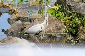 カワセミの居ぬ間に身近な鳥を見る - 水元かわせみの里水辺のふれあいルーム