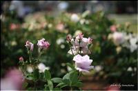 薔薇の香り VOL.2 - 今日のいちまい