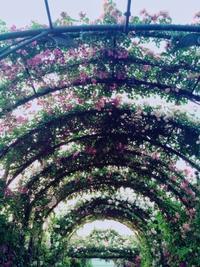 バラの季節ですね~ - うつわ愛好家 ふみの のブログ