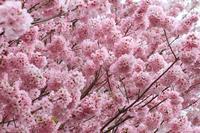 圧倒的桜。2017 - 心 色